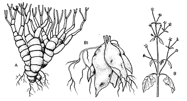 Roots_fig20