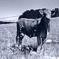 Album8_cow