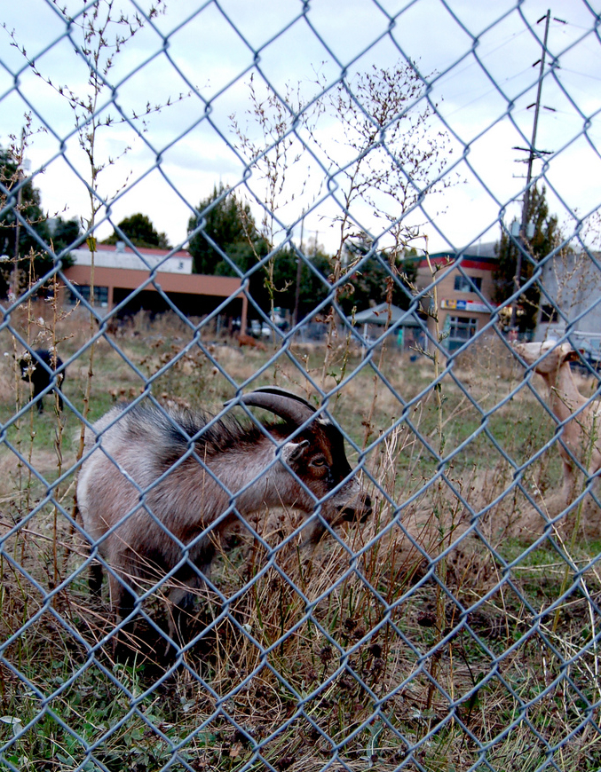 Goats_2