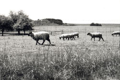 Album8_Sheep near Hill Road 1A