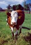 1998_bachelor_trip_cow_1r